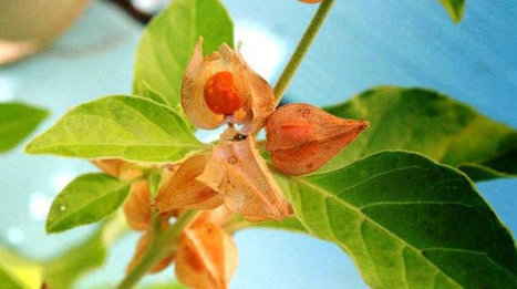 Ashwagandha Benefits, Uses, Side Effects and Consumption Tips   Home Remedies   Scoop.it