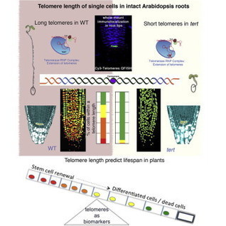 Single-Cell Telomere-Length Quantification Couples Telomere Length to Meristem Activity and Stem Cell Development in Arabidopsis: Cell Reports | Plant Biology Teaching Resources (Higher Education) | Scoop.it
