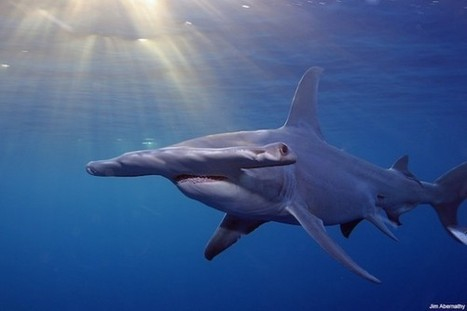 100 Million Sharks Killed Every Year, Study Shows On Eve of International Conference on Shark Protection | Daniel.F-GeogLog | Scoop.it