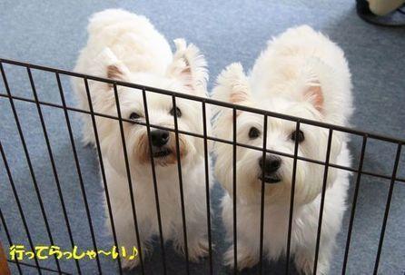 傍にはいつも・・・ (=^m^)   ☆メルのわんぱく日記☆   West Highland White Terrier   Scoop.it