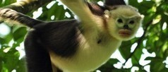Survey in Vietnam records highest number of Tonkin snub-nosed monkeys to date | Fauna & Flora International | Wildlife and Environmental Conservation | Scoop.it