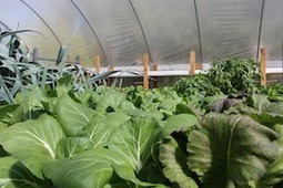 Local Urban Aquaponic Farming Model to Reduce Food Mile, Create Jobs, Enhance Food Security | Vertical Farm - Food Factory | Scoop.it