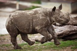 Rhino trade should be legalized, South Africa environment official says - GlobalPost | Kruger & African Wildlife | Scoop.it