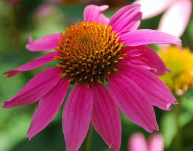 Echinacea | From The Herb Cottage | Scoop.it