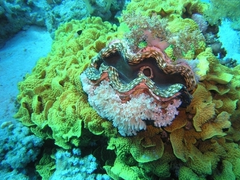 Giant Clams: Unsung Heroes for Coral | animals and prosocial capacities | Scoop.it