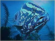 """WATCH: """"Grouper Moon"""" - Episode 403 - Changing Seas - WPBT2 Public Television Series   OUR OCEANS NEED US   Scoop.it"""