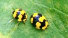 Gardening Australia - Fact Sheets - Pests, Diseases and Weeds | Gardening in Queensland ideas | Scoop.it