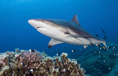 Humans are greater threat to sharks, not the other way around | Soggy Science | Scoop.it