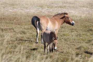 Tail Hairs Reveal Gobi Desert Equids' Dietary Choices | Cheval | Scoop.it
