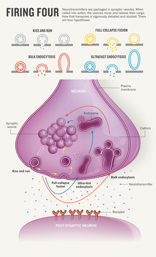 A deep look at synaptic dynamics : Nature : Nature Publishing Group | Laboratorios Wachoski | Scoop.it