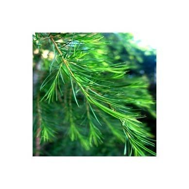 Le Tea Tree, l'Huile Essentielle multifonction   Huiles essentielles HE   Scoop.it