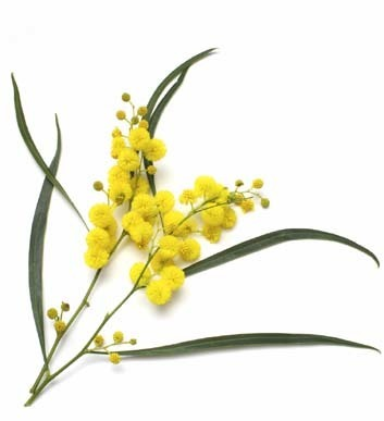 Yellow treat puts spring in your step | Australian Plants on the Web | Scoop.it