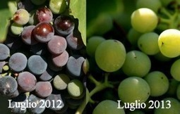 "Fa caldo, anzi no. Scene dall'annata 2013: maturazione in ritardo, o vendemmia ""normale""? 