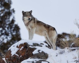 A Tragic Blow to Oregon's Wolves | GarryRogers NatCon News | Scoop.it