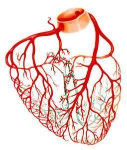 Anatomie des artères coronaires   Maladie coronarienne   Scoop.it
