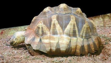13 percent of entire tortoise species' population found in smuggler's bag | Madagascar Conservation News | Scoop.it