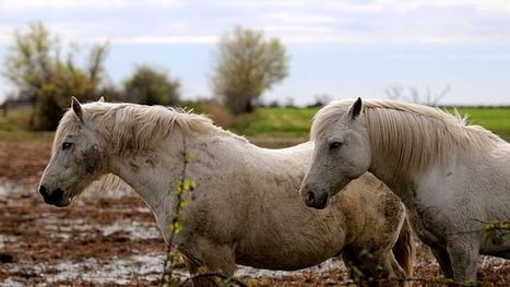 "2 chevaux positifs au virus de ""West Nile"" en Camargue - France 3 Languedoc-Roussillon 