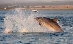 Dolphins and gannets make a big splash | Conservation | Scoop.it