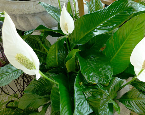 Growing Peace Lilies / Indoor Containers | Fiskars | Annie Haven | Haven Brand | Scoop.it