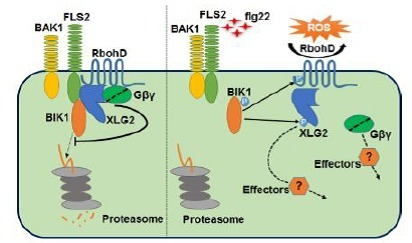 Arabidopsis heterotrimeric G proteins regulate immunity by directly coupling to the FLS2 receptor | Plant-microbe interaction | Scoop.it