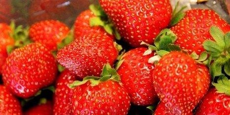 Dordogne : à la recherche de la fraise parfaite | Maraichage-Horticulture | Scoop.it