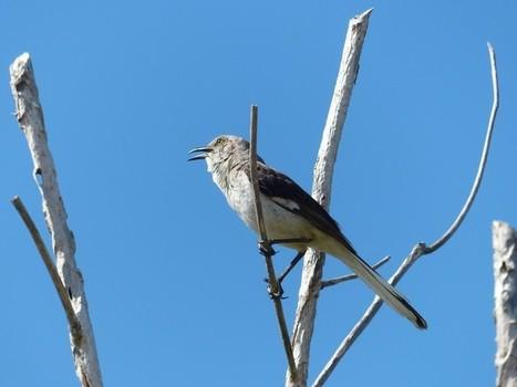 Photo gratuite et libre de droits de Mimidé : Moqueur polyglotte - Mimus polyglottos - Northern Mockingbird | Fauna Free Pics - Public Domain - Photos gratuites d'animaux | Scoop.it