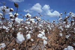 Le coton égyptien menacé par l'importation | Égypt-actus | Scoop.it