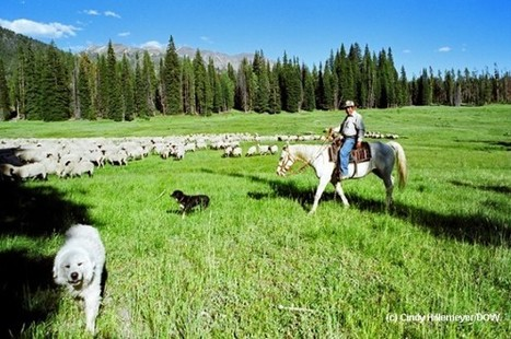 A Turbulent Start for the Wood River Wolf Project | Defenders of Wildlife Blog | Livestock Guardian Dogs | Scoop.it