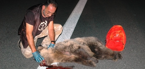 Ατύχημα με θύμα αρκούδα στον κάθετο άξονα Σιάτιστα-Κρυσταλλοπηγή | Η Βιολογία στην Εκπαίδευση | Scoop.it