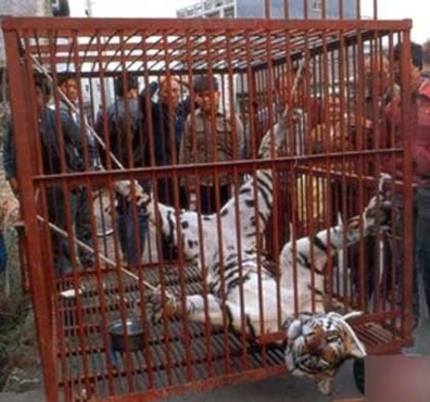Stop skinning tigers! | Conservation & Environment | Scoop.it