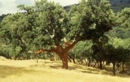 Expertos de EEUU promocionan el ecoturismo del corcho y el alcornoque | DEHESAS IBERICAS | Scoop.it