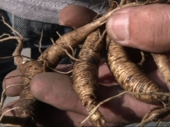 Saving 'sang': New label aims to conserve wild ginseng, spur more domestic use of pricy plant | Erba Volant - Applied Plant Science | Scoop.it