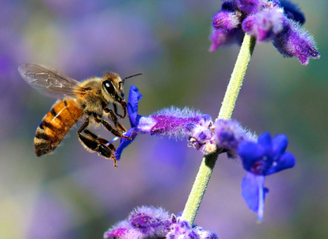 Gardening for bees | sustainablehomes | Scoop.it