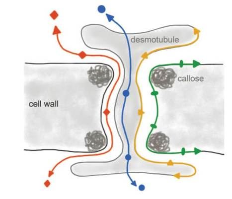 JExpBot: Gated communities: apoplastic and symplastic signals converge at plasmodesmata to control cell fates | plant developments | Scoop.it