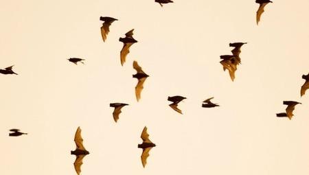 Bats take flight in seasonal spectacle | Bat Biology and Ecology | Scoop.it