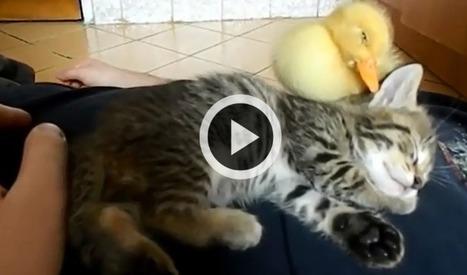 Les vidéos d'animaux de la semaine | CaniCatNews-actualité | Scoop.it