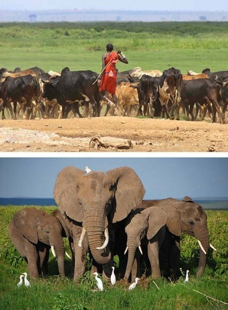 Elephants Have Learned to 'Understand Human' | linguistic anthropology | Scoop.it