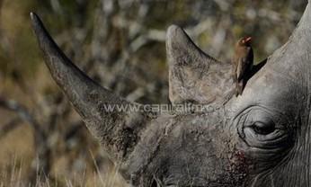 S.Africa sentences trio to 16 years for killing rhinos - Capital FM Kenya   Kruger & African Wildlife   Scoop.it