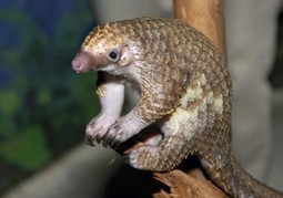 Meet the Pangolin, Another Animal Threatened by Traditional Asian Medicine | Extinction Countdown, Scientific American Blog Network | Medicine actually | Scoop.it
