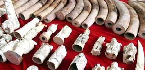 La France a désormais en Europe la position la plus dure sur le commerce de l'ivoire | Biodiversité | Scoop.it