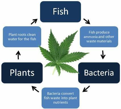 Aquaponics & Cannabis: 3 Major Obstacles | Grow Weed Easy | Grow Weed Easy | Scoop.it