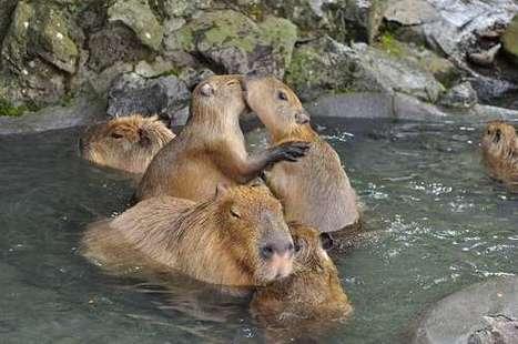 C'était jour de bain pour ces capybaras japonais | JAPON youkoso | Scoop.it
