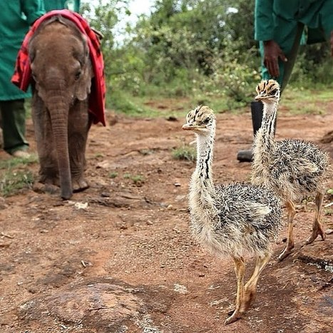 Compassionate Ostrich Offers Comfort to Baby Elephants at Orphaned Animal Sanctuary | Le It e Amo ✪ | Scoop.it