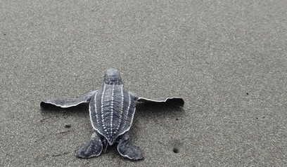 Is Plastic a Chronic Killer? Calculating the Toxicity of Plastic Ingestion to Sea Turtles. | #SciFund | Scoop.it