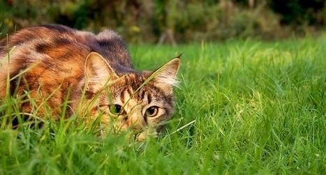 Enquête participative chat domestique et biodiversité - LPO   Biodiversité   Scoop.it