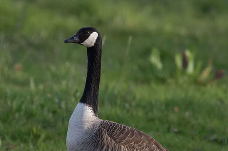 Verizon and its Canada Geese are just begging me to fly away to AT&T or T-Mobile   Bob Brown   NetworkWorld.com   Surfing the Broadband Bit Stream   Scoop.it