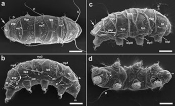 New species of ancient water bear (tardigrade) found in Antarctica | Picture This. | Scoop.it