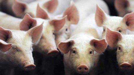 Berlin rejette les accusations françaises de fraude en faveur des éleveurs porcins - France 3 Bretagne   Le Fil @gricole   Scoop.it