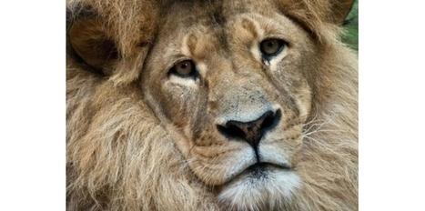 La Zambie interdit la chasse au lion et au léopard - Le Nouvel Observateur   L'actu du droit de l'environnement !   Scoop.it