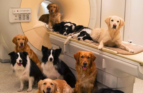 Brain Scans Show Striking Similarities Between Dogs and Humans - Wired Science | Pet-Friendly | Scoop.it